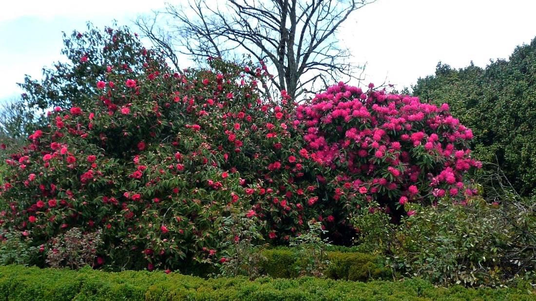 Rododendro y azalea 1100x619